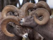 Ram Huddle