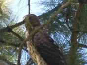 Seven cooper hawk on one hour