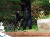 Bear and cub on Paris Mtn.