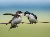 Tree Swallow dispute