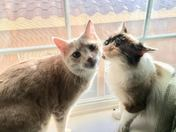 Russel Blonde Tabby and Bella Calico