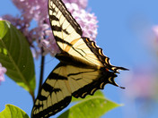 Butterfly enjoying the lilac blossoms