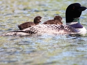 Mother loon with chicks