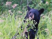 Mother bear eating