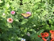 Beautiful butterfly in my perennial garden.