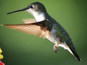 More Hummingbirds