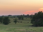 Sunset over the pasture South of Rose Hill makes for some happy cows.