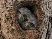Pair of Eastern Screech Owlets