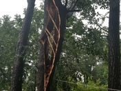 Tree struck by lightning