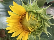Just one of seven beautiful sunflowers on our deck.
