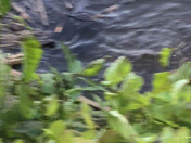 I was walking my dogs on the Heritage Trail and spotted this guy in the Allegheny River!