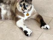 My polydactyl kitty!