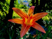 Tiger Lily in shadows