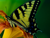 Swallowtail on a Tiger Lily