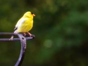 Yellow bird in Merrimack