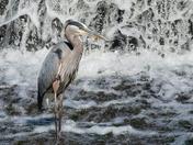 Great Blue Heron Fishing in the waterfall