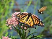 "Monarch butterfly being ""photo bombed"" as I was taking its picture"