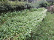 Recent storms have lodged (wrecked) my buckwheat crop!