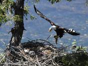 Eagles Vancouver Island