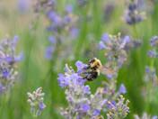 Honeybee in Meadow