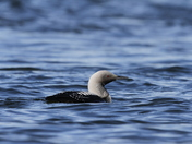 Pacific Loon swimming in arctic waters