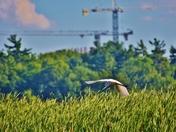 Great egret and cranes.
