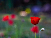 Single Poppy