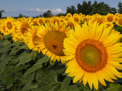Sunflower Fields Caledon