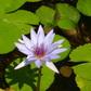 Bouleau Lake BC Lillies
