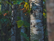 The tree bark (Assiniboine Forest, Winnipeg)