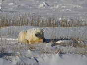 A Polar Bear lying down between grass