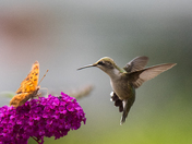 Hummingbird and Butterfly