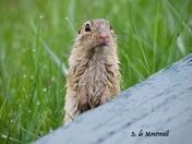 13 striped ground squirrel