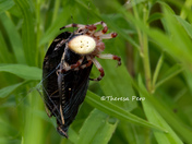 Spider with Mourning Cloak Butterfly