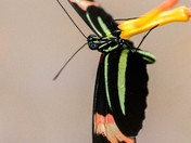 Postman Butterfly