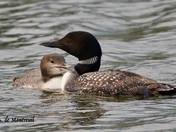 Loon chick with parent