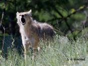 Coyote hauling