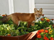 fox in garden bed