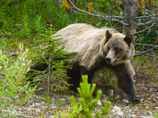 Grizzly Bear walking out of the forest