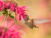 Rufous Hummingbird (5231)