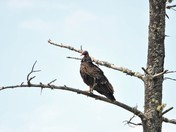 Turky vulture