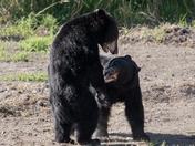 Bears Being Bears