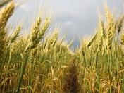 Saskatchewan Wheat