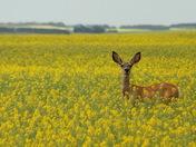 Deer in Canola