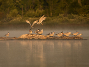 Early Morning with the Caspian Terns