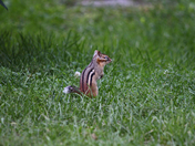 White tall   chipmunk