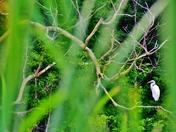 Peekaboo. Finding egret on a tree.