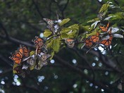 Gathering of the Monarchs