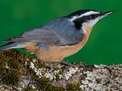 Red breasted Nuthatc