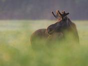 Bull Moose Breakfasting